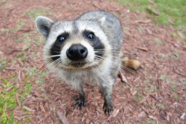800px-Curious_Raccoon