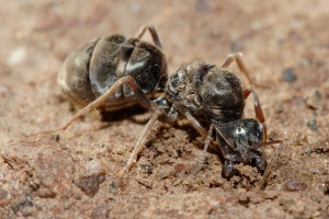 Meat_eater_ant_qeen_excavating_hole