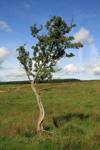A_lone_tree_at_Caulside_-_geograph.org.uk_-_947847